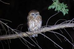Boo Book Owl Royalty Free Stock Photos
