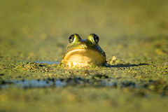 Boo. A pig frog sunning itself in the early morning light at our local wetlands Stock Image