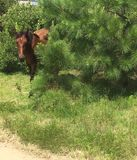 Boo!. Wild Spanish Mustang horse coming out of a evergreen bush in Corolla, North Carolina stock photo