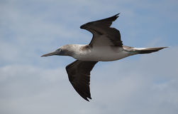 Boobie in Flight. The Blue Footed Boobie nest along the coast of the Galapagos islands Stock Images