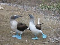 Boobies Azul-footed Imagens de Stock Royalty Free