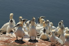 Boobies of Helgoland Royalty Free Stock Images