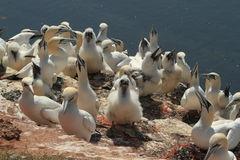 Boobies of Helgoland Stock Images