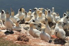 Boobies of Helgoland Stock Image