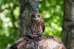 Boobook do sul de Boobook Owl Ninox de Australisia fotos de stock
