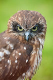 Boobook Owl royalty free stock images