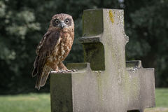 Boobook owl. Perched on a headstone in a graveyard staring straight at camera Royalty Free Stock Image