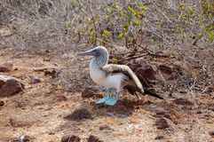 booby Azul-footed Imagem de Stock Royalty Free