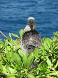 Booby bird Royalty Free Stock Images