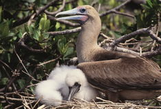 Booby bird with baby Royalty Free Stock Photography