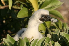 Booby Bird Chick Stock Photo