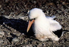 Booby bird with its babies Stock Photo