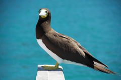 Booby bird yellow footed. A rare yellow footed Booby bird from St Thomas - Virgin islands Stock Photo