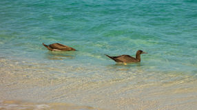 Booby birds bobbing in the caribbean sea. Water fowl fishing as seen from a beach in the windward islands Stock Images