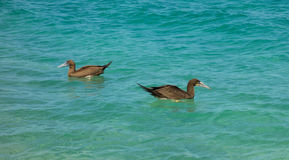 Booby birds bobbing in the caribbean sea. Water fowl fishing as seen from a beach in the windward islands Royalty Free Stock Photos