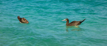 Booby birds bobbing in the caribbean sea. Water fowl fishing as seen from a beach in the windward islands Stock Photo