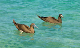 Booby birds bobbing in the caribbean sea. Water fowl fishing as seen from a beach in the windward islands Stock Photography