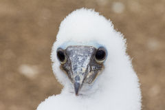 Booby chick Stock Photo