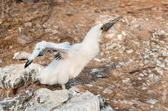 Booby chick stretching its wings. Royalty Free Stock Photography