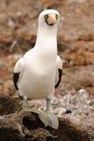 Booby di Nazcar su Galapagos Immagini Stock