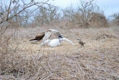 Booby footed blu con la prole (nebouxi del Sula) Fotografia Stock