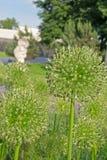 Booglatunski & x28; aflatuni, Allium& x29; Stock Afbeelding