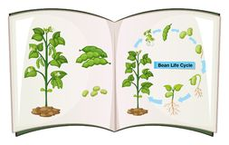Book of bean life cycle. Illustration Royalty Free Stock Photography