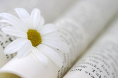 Book And Daisy. Book with a daisy in it, narrow depth of field Royalty Free Stock Images