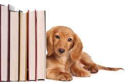 Book End Puppy Royalty Free Stock Photo