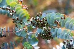 Book-leaf mallee  plant. Closeup of  Book-leaf mallee  plant Stock Photography