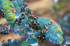 Book-leaf mallee plant Royalty Free Stock Photography