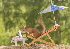 Book reader. Red squirrel  on a chair under an umbrella reading a book Royalty Free Stock Photo