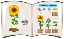 Book showing diagram of sunflower life cycle. Illustration Stock Images