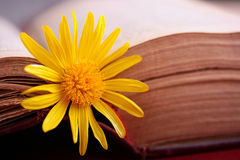 Bookmark. Yellow flower in quality to a bookmark on pages of the open ancient book Royalty Free Stock Images