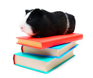 Books and guinea pig. Stock Photography