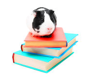 Books and guinea pig. Stock Images