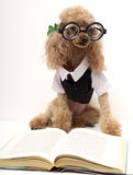 Bookworm. A poodle wearing thick glasses and a white shirt, vest and tie reading a book Stock Photography