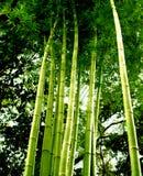 Boom 01 van het bamboe royalty-vrije stock afbeelding