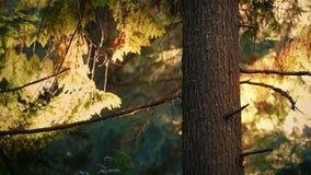 Boom bij Zonsondergang met Stuifmeel het Vallen stock footage
