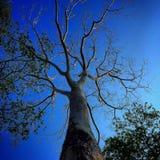 Boom blauwe hemel Stock Afbeeldingen