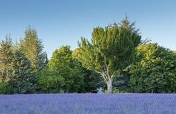 Boom in blauwe lavendel onder hemel Stock Afbeelding