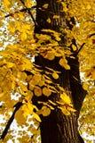 Boom in de herfst Stock Afbeeldingen