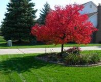 Boom in de herfst met trillende rode bladeren Stock Fotografie