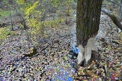Boom in de herfstbos door bevers wordt geknaagd aan die Royalty-vrije Stock Foto's