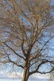 Boom in de winter tegen de hemel stock foto