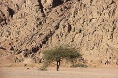 Boom in de woestijn royalty-vrije stock afbeeldingen