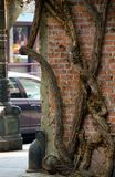 Boom die bakstenen muur overnemen bij de hoek van Westers vierkant Royalty-vrije Stock Fotografie