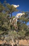 Boom die geiten in Marokko beklimmen Stock Afbeelding