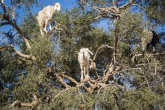 Boom die geiten in Marokko beklimmen Royalty-vrije Stock Foto
