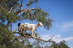 Boom die geiten in Marokko beklimmen Royalty-vrije Stock Afbeeldingen